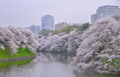 Cherry blossoms landscape. In the cloudy day Royalty Free Stock Photos