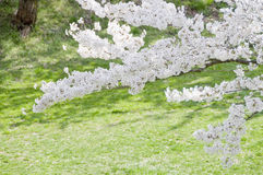 Cherry blossoms and lawn Stock Photos