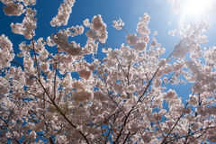 Cherry Blossoms Lens Flare Stock Photography