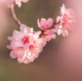 Cherry blossoms with lights Stock Photos