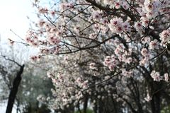 Through these cherry blossoms, look out to the hill next door in the spring. stock photo