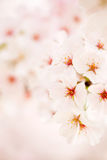 Cherry blossoms macro Stock Photos