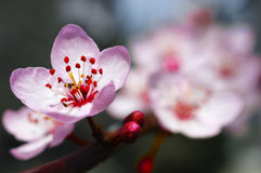 Cherry Blossoms. Macro shot of cherry blossoms in the winter. Berkeley, California Stock Photography
