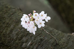 Cherry blossoms in March. Landscape Pictures stock images