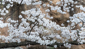 Cherry blossoms in March. Landscape Pictures Royalty Free Stock Images