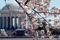 Cherry blossoms and Memorial Royalty Free Stock Photography