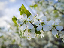 Cherry blossoms in mid-may Royalty Free Stock Photography