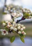 Cherry Blossoms Mooie verse bloemen op een achtergrond van de hemel Royalty-vrije Stock Afbeeldingen
