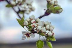 Cherry Blossoms Mooie verse bloemen op een achtergrond van de hemel Royalty-vrije Stock Foto