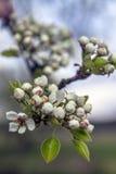 Cherry Blossoms Mooie verse bloemen op een achtergrond van de hemel Royalty-vrije Stock Afbeelding