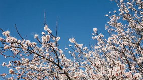 Cherry blossoms moving with the breeze. On a warm and sunny spring day stock video