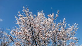 Cherry blossoms moving with the breeze stock footage