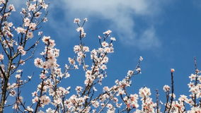 Cherry blossoms moving with the breeze. On a warm and sunny spring day stock footage