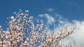 Cherry blossoms moving with the breeze. On a warm and sunny spring day stock video footage