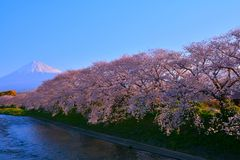 Cherry blossoms and Mt. Fuji of Blue Sky in Fuji City Japan stock image