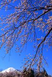 Cherry blossoms and Mt. Fuji in the blue sky of Yagisaki Park in Lake Kawaguchi stock image