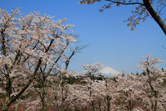 Cherry blossoms and Mt. Fuji Stock Photo