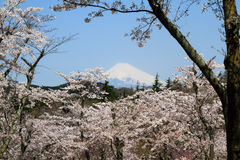 Cherry blossoms and Mt. Fuji Stock Images