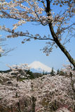 Cherry blossoms and Mt. Fuji Royalty Free Stock Photo