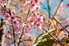 Cherry Blossoms  in nature Royalty Free Stock Photo