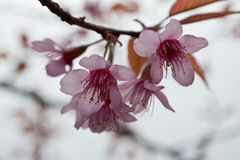Cherry Blossoms in nature Royalty Free Stock Images