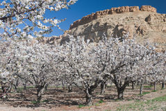 Cherry Blossoms near Palisade, Colorado. Blooming cherry orchard with mesa in the background Royalty Free Stock Image