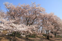 The cherry blossoms at Negishi Shinrin Park Stock Photos