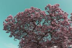 Cherry Blossoms nel cielo Immagini Stock Libere da Diritti