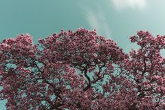 Cherry Blossoms nel cielo Fotografia Stock