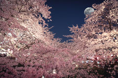 Cherry Blossoms nell'ambito della luce della luna immagine stock