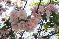 Cherry Blossoms New England Imagen de archivo
