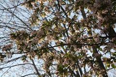 Cherry Blossoms New England Imágenes de archivo libres de regalías