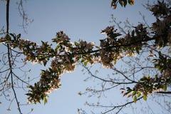 Cherry Blossoms New England Imagenes de archivo