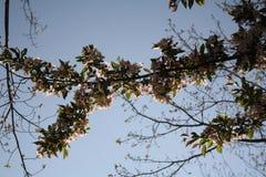 Cherry Blossoms New England Imagen de archivo libre de regalías