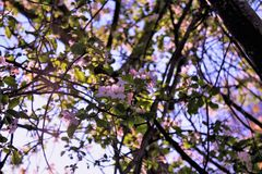 Cherry Blossoms New England Fotografía de archivo