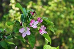 Cherry Blossoms New England Fotografía de archivo libre de regalías