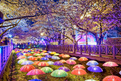 Cherry blossoms at night, busan city in south korea Stock Images