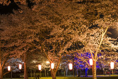 Cherry blossoms at night Royalty Free Stock Image