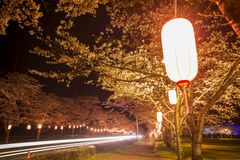 Cherry blossoms at night. Night view of cherry blossoms and light trail in Kagoshima Stock Photo