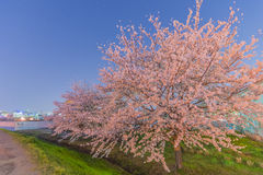 Cherry Blossoms at night Stock Images