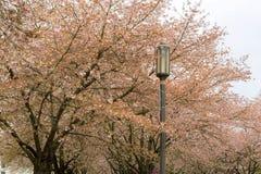 Cherry Blossoms och lampstolpe Arkivfoto