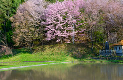 Cherry blossoms in Omachi, Nagano, Japan Royalty Free Stock Photography