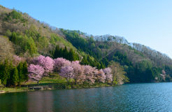 Cherry blossoms in Omachi, Nagano, Japan Royalty Free Stock Images