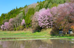 Cherry blossoms in Omachi, Nagano, Japan Stock Images
