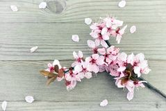 Cherry Blossoms op oud hout Stock Foto