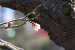 While cherry blossoms are open. Spring has arrived, spring cherry has begun to bloom, Shu tender tender petals, ready to meet with you eager Royalty Free Stock Image