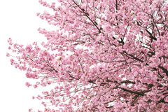 Cherry Blossoms Or Pink Sakura. Royalty Free Stock Photo