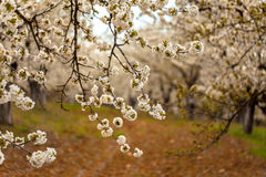 Cherry Blossoms in an Orchard Stock Photo