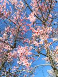Cherry Blossoms images stock