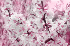 Cherry blossoms outdoors Royalty Free Stock Image